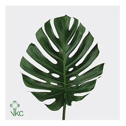 philodendron monstera feuille art 39 n flower. Black Bedroom Furniture Sets. Home Design Ideas