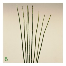 Botte Bamboe Prele