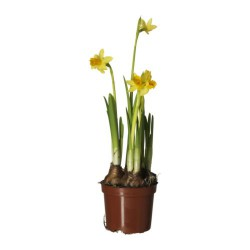 POT de NARCISSES TETE A TETE