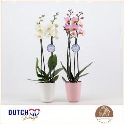 Phalaenopsis blanche dans cache-pot