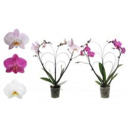 Phalaenopsis couleur