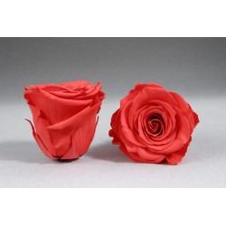 6 Roses lyophilisée L