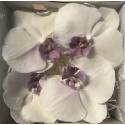 Fleuron de Phalaenopsis lyophilisée