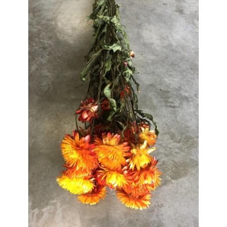 Botte de Helchrysum seché