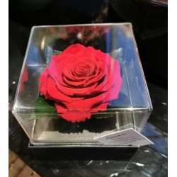 Rose éternelle parfumée