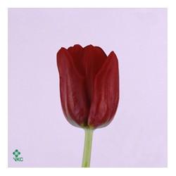 25 Tulipes rouges