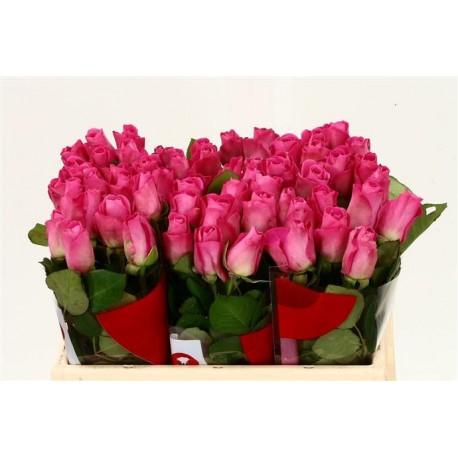 20 roses Fuschia