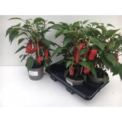 Tomates Aperitives
