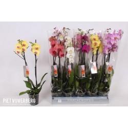 Phalaenopsis Italie
