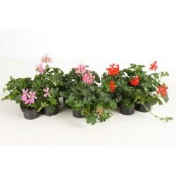 15 géraniums lierre à fleurs doubles