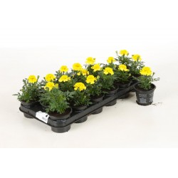 18 plantes annuelles
